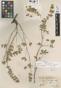 Lupinus caudiciferus image