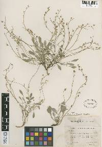 Physaria multiceps image