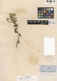 Image of Ageratina wrightii