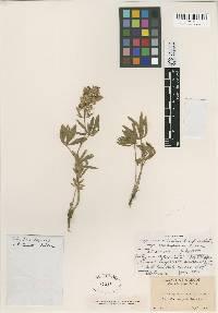 Lupinus X inyoensis image