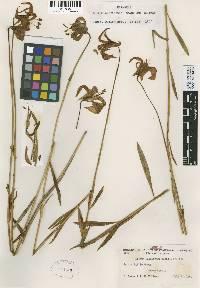 Lilium pitkinense image