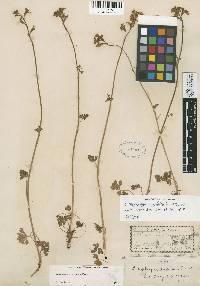Lithophragma trifoliatum image
