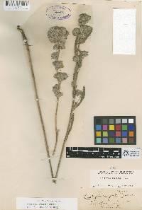 Image of Lagophylla ramosissima