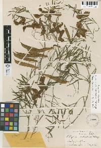 Lathyrus splendens image