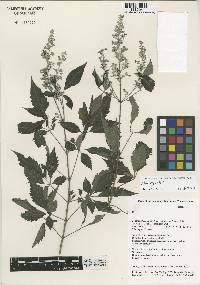 Image of Vitex negundo
