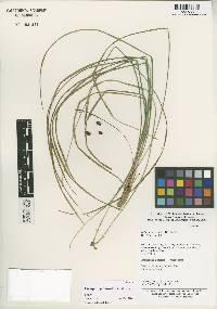 Liriope graminifolia image