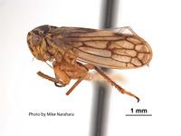 Oncopsis californicus image