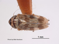 Image of Acucephalus giffardi