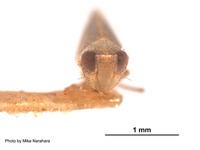 Platymetopius analis image