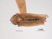 Image of Phlepsius docilis