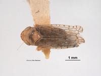 Image of Mesamia diana