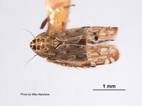 Deltocephalus discessus image