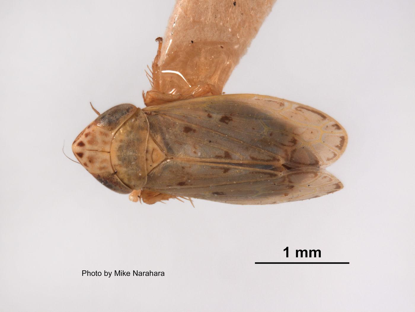 Deltocephalus cahuilla image