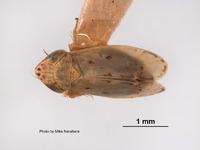 Image of Deltocephalus cahuilla