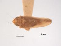 Image of Scaphoideus nugax