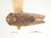 Image of Aligia amoena