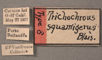 Image of Trichochrous squamiger