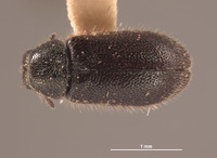 Image of Trichochrous frigidus