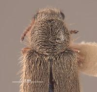 Image of Trichochrous loretensis