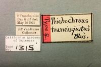 Image of Trichochrous francisquitus