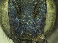 Image of Osmia visenda