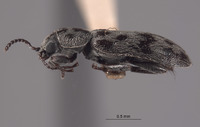 Image of Listrus foxi