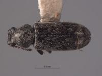 Listrus anacapensis image