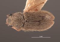Image of Trichochrous margaritae