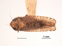 Image of Aligia colei