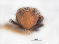 Platymetopius diabolus image
