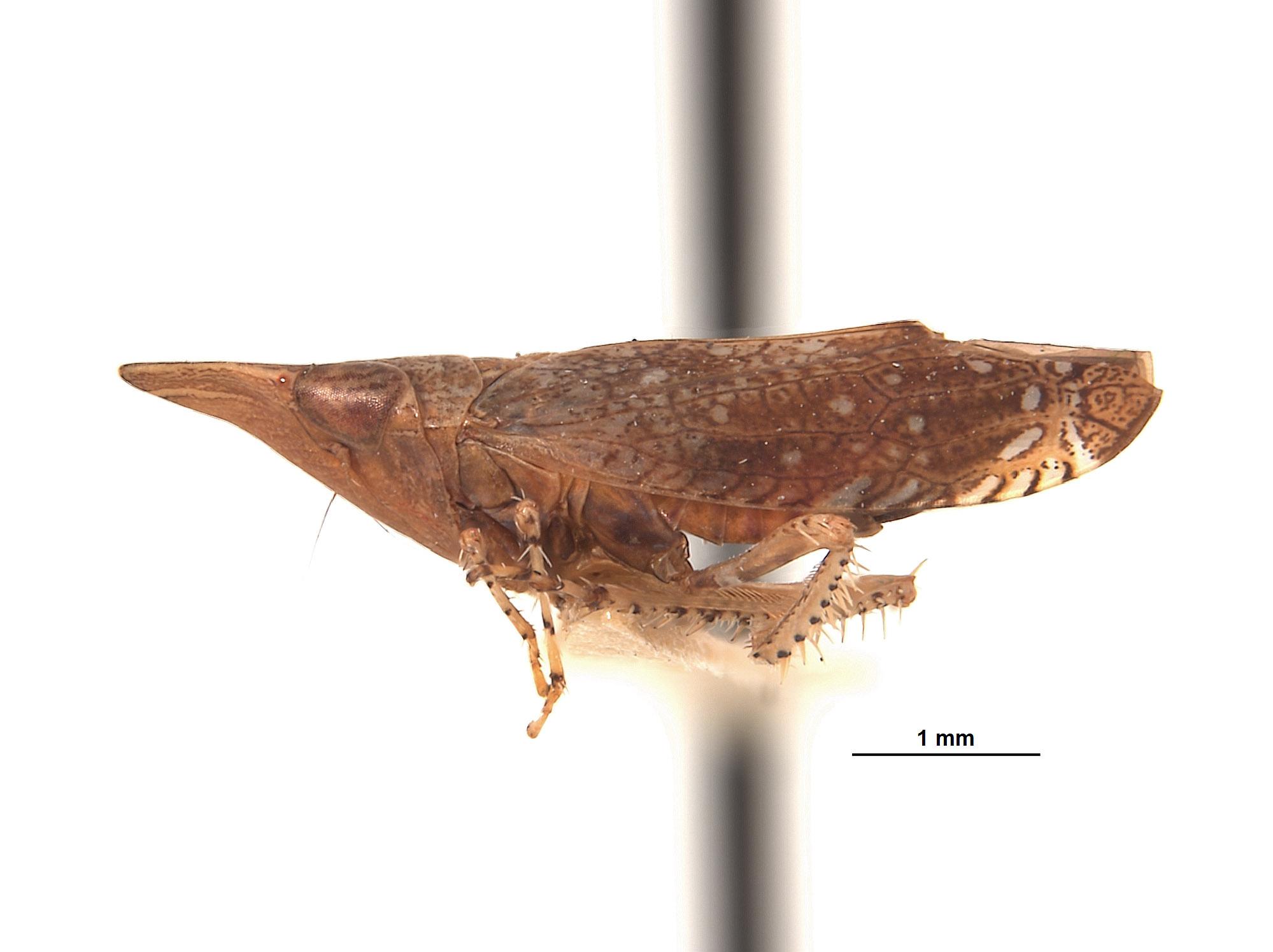 Platymetopius pexatus image