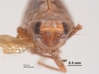 Image of Scaphoideus mirus