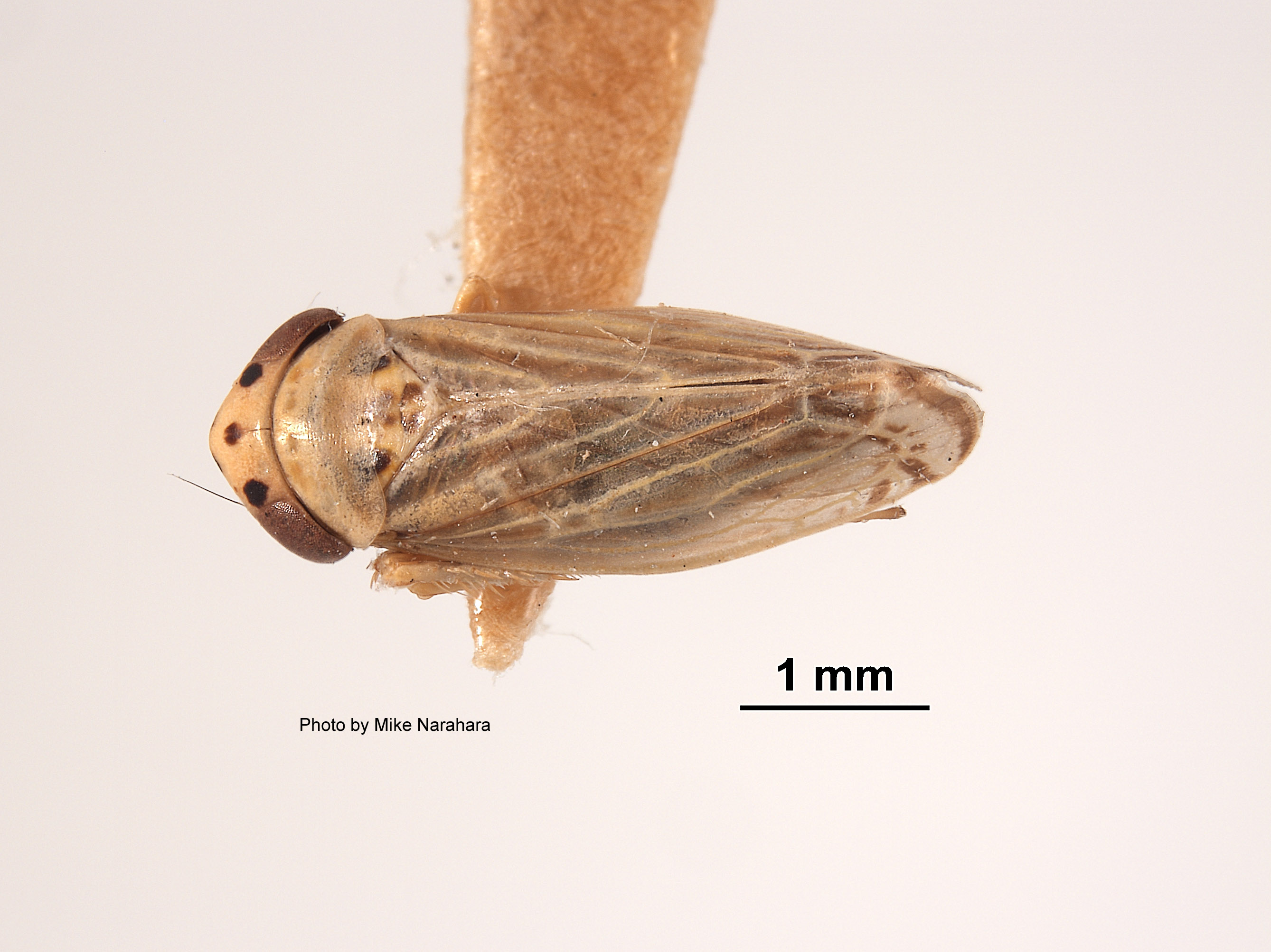 Euscelis almus image