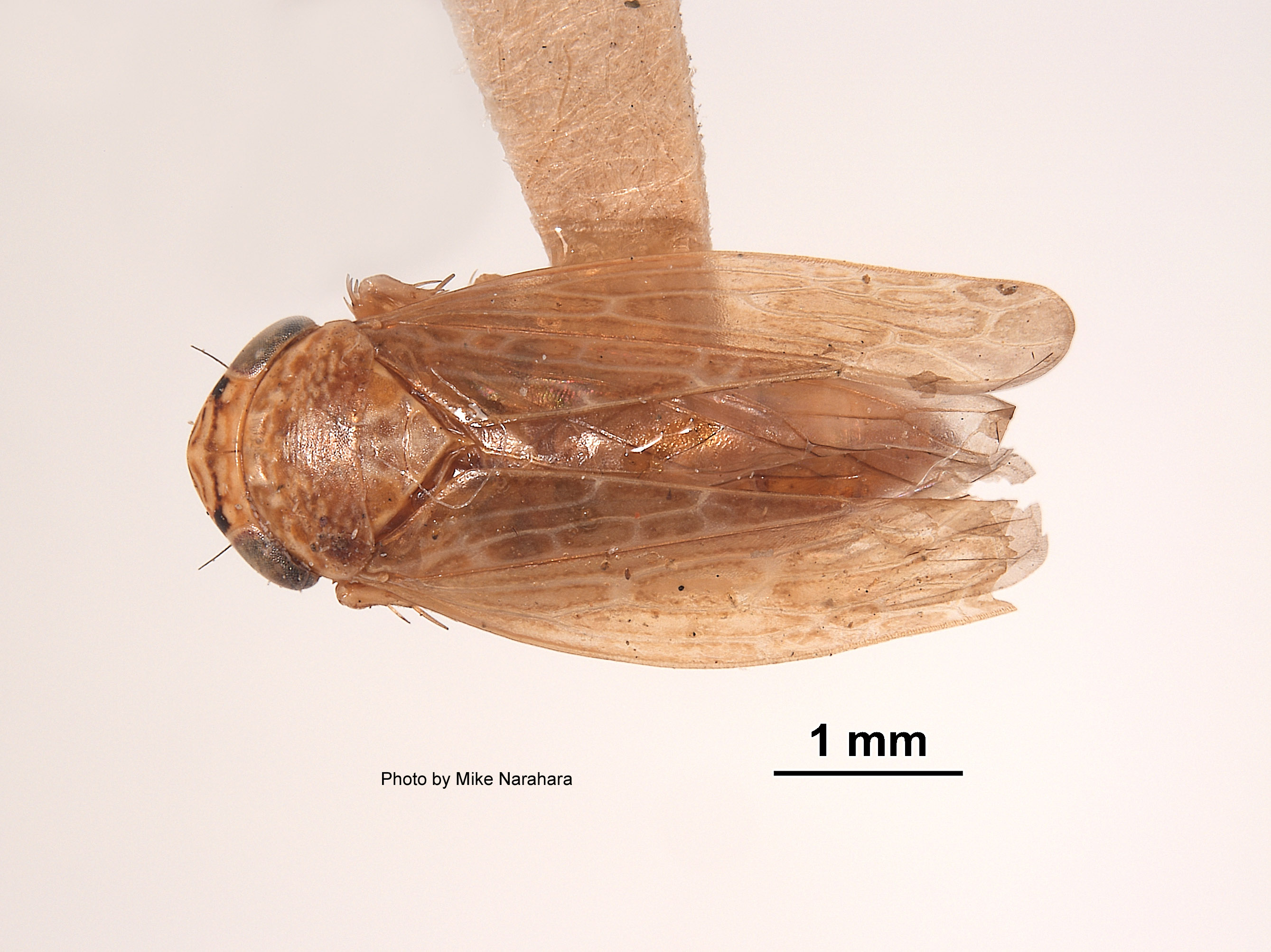 Euscelis finitimus image