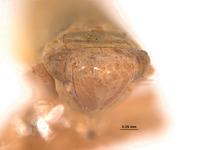 Thamnotettix verutus image
