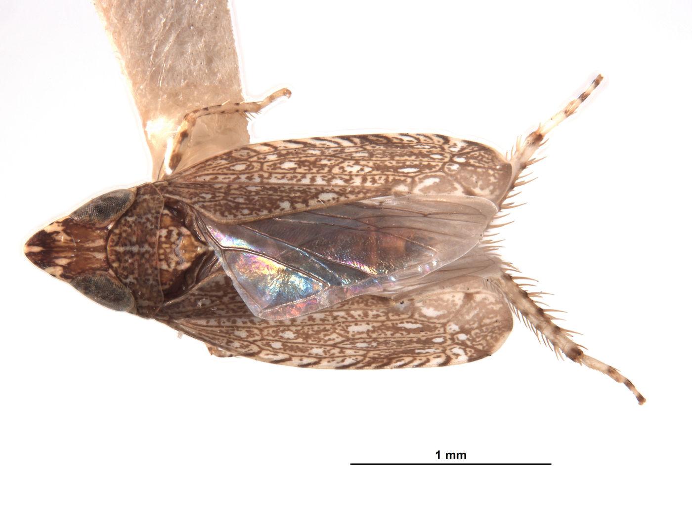 Platymetopius nasutus image