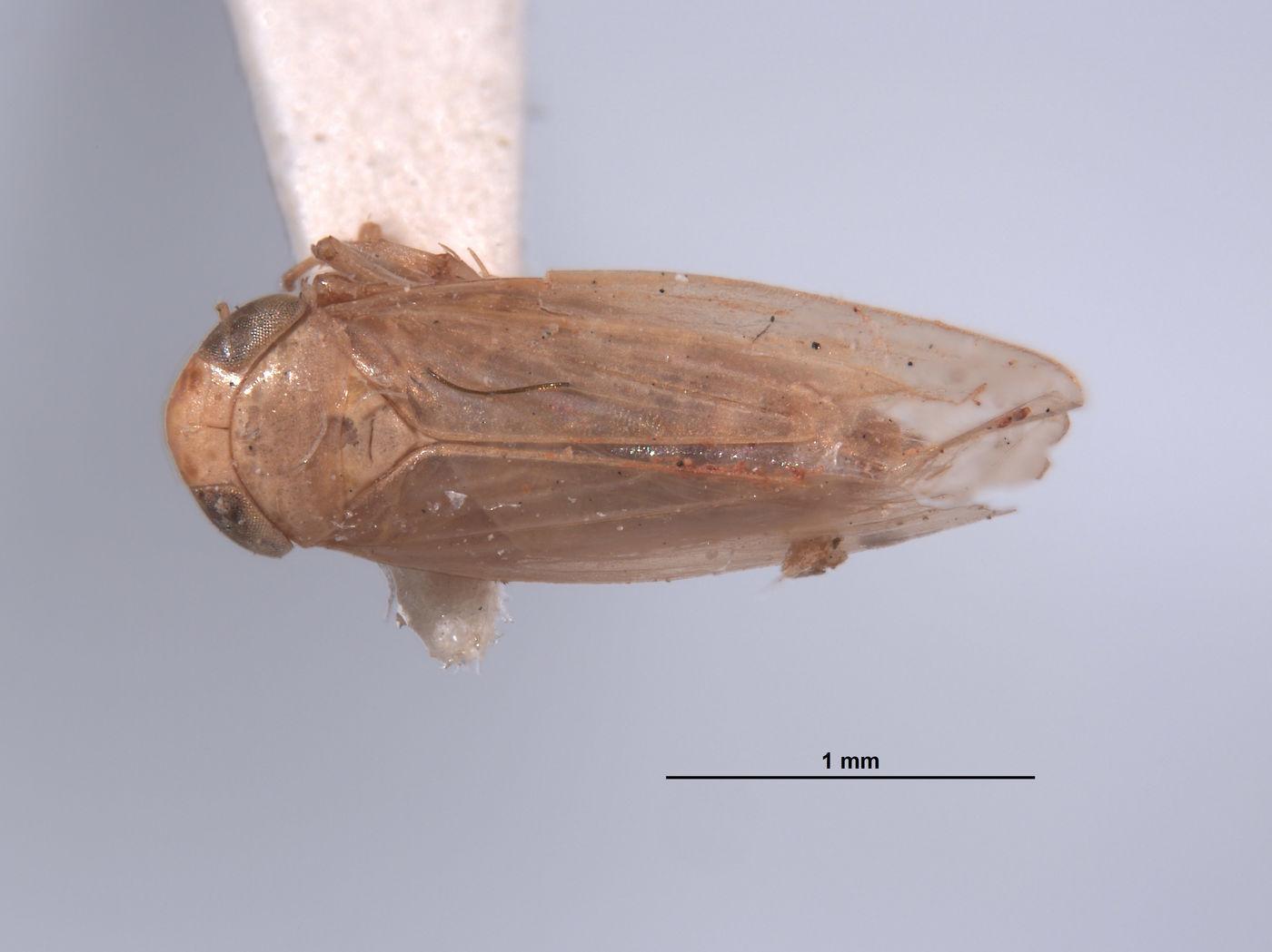 Thamnotettix fessula image
