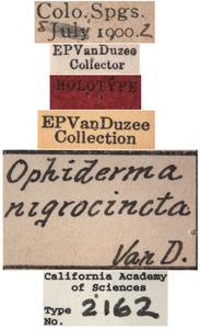 Ophiderma nigrocincta image