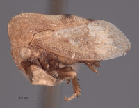 Leioscyta ferruginipennis ssp. testacea image