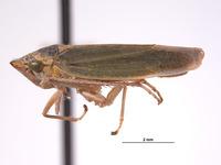 Draeculacephala inscripta image