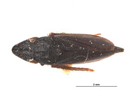 Image of Neoslossonia atra