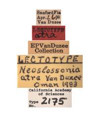 Neoslossonia atra image