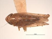 Image of Scaphoideus albonotatus