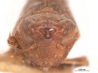 Platymetopius verecundus image