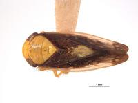 Image of Eutettix nitens