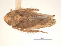 Image of Phlepsius incurvatus