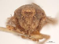Phlepsius incurvatus image