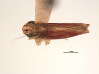 Tettigonia macrocephala image