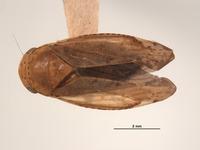 Image of Gypona nupera
