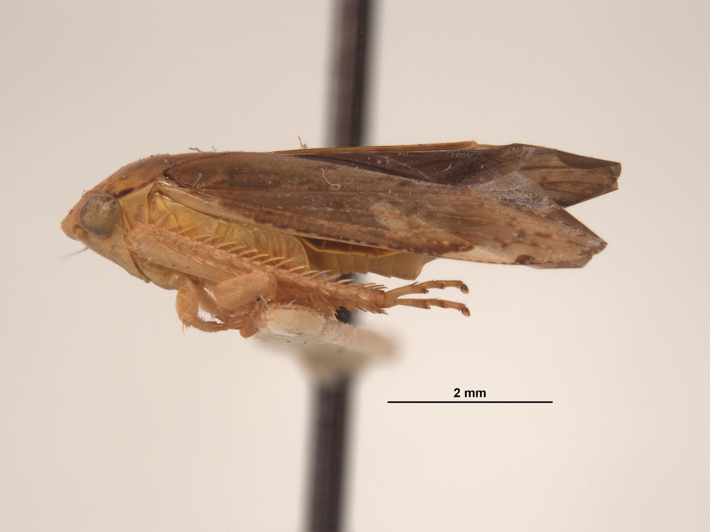 Gypona image